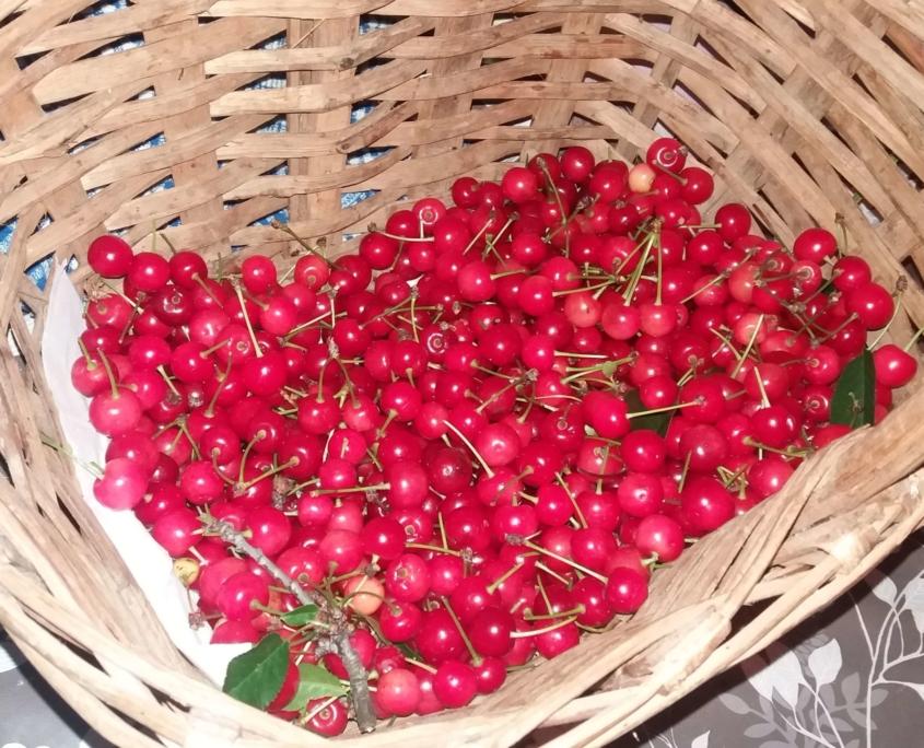 Le amarene che bel frutto