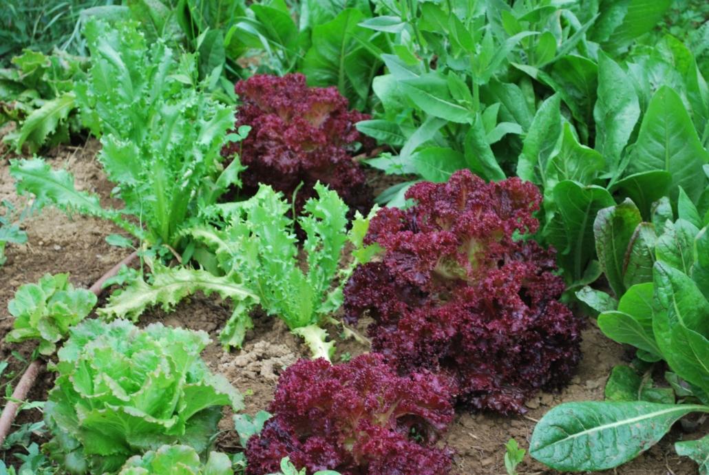 Le culture dell'orto: l'insalata