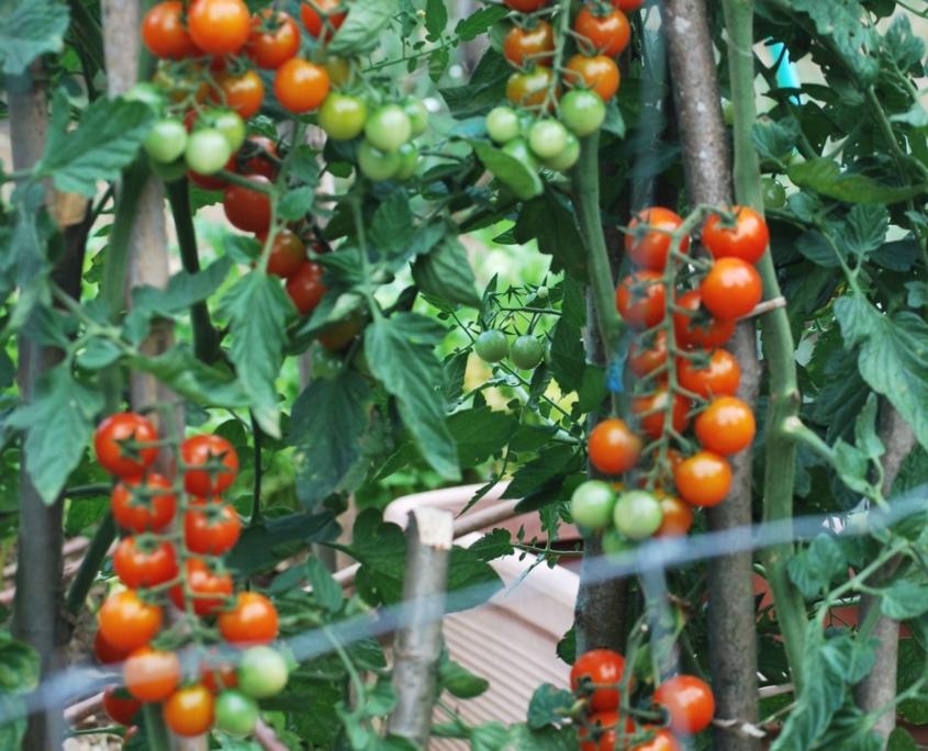 I pomodori dell'orto