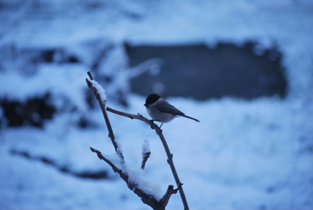 Fotografare gli uccelli sulla neve