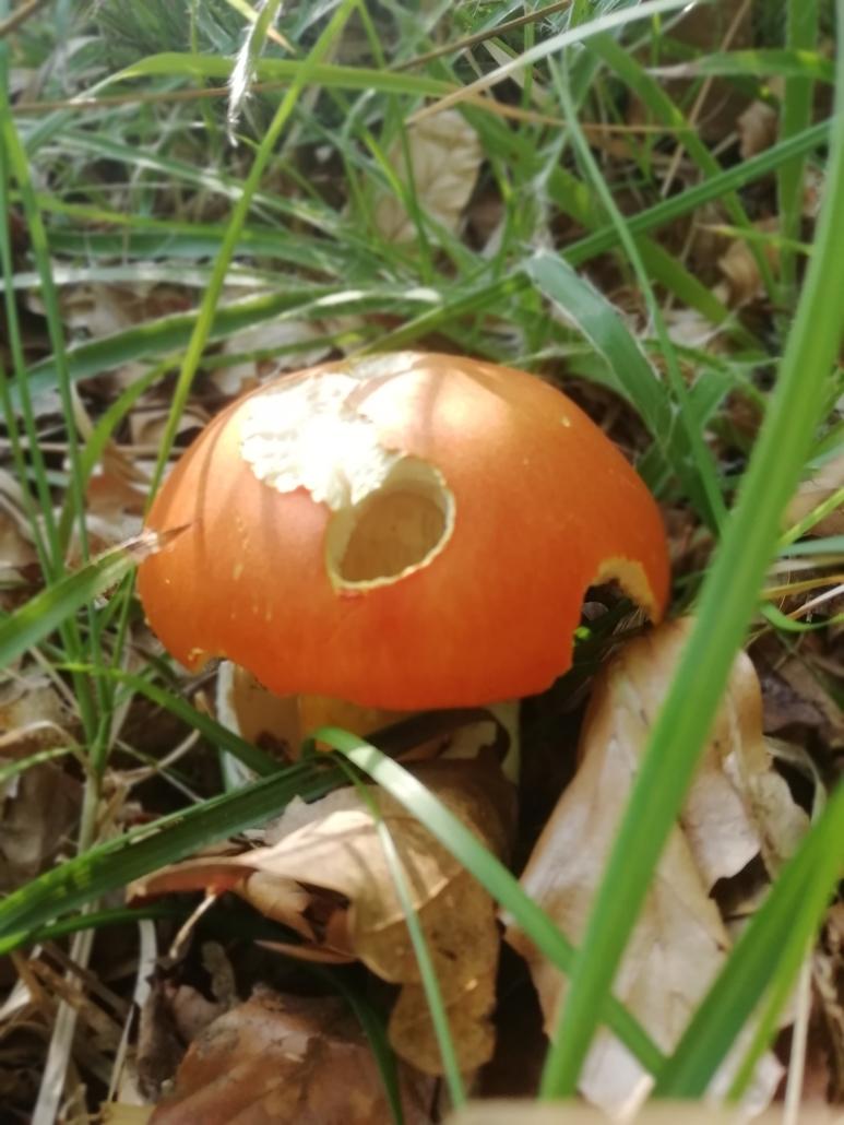 Cercare funghi: l'amanita cesarea