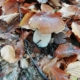 Cercare funghi: il porcino