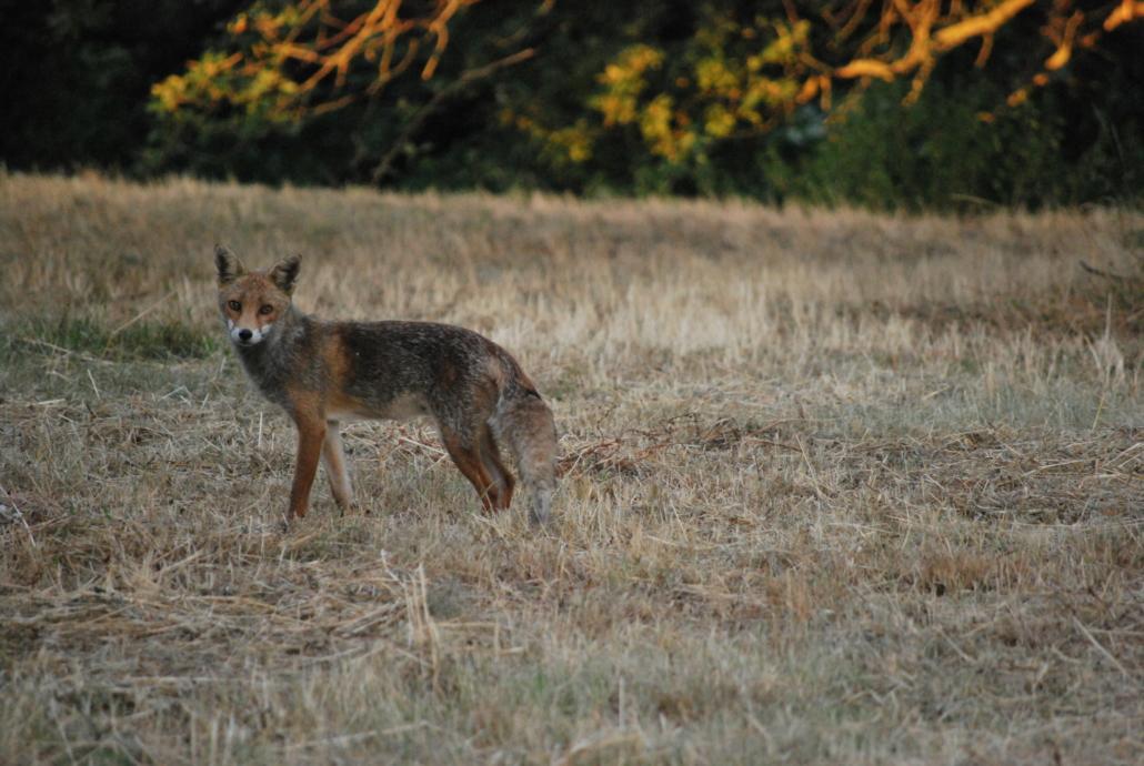 Fotografare animali selvatici : la volpe