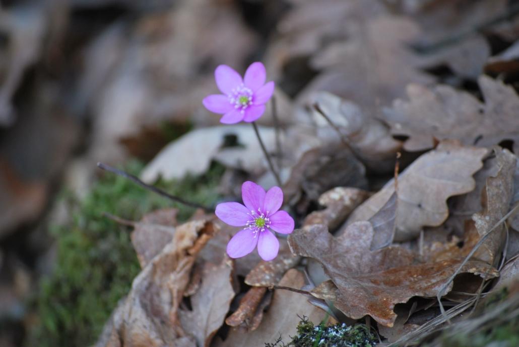 Fotografare i fiori:: l'anemone epatica