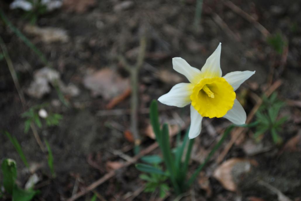 Fotografare i fiori: il narciso