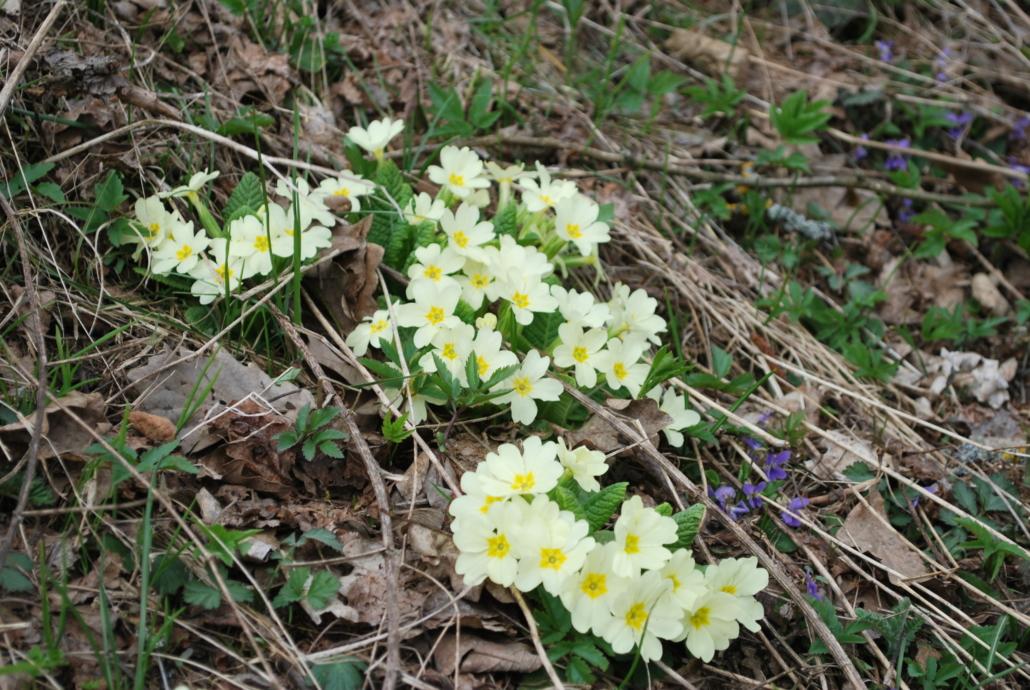 Fotografare i fiori: le primule