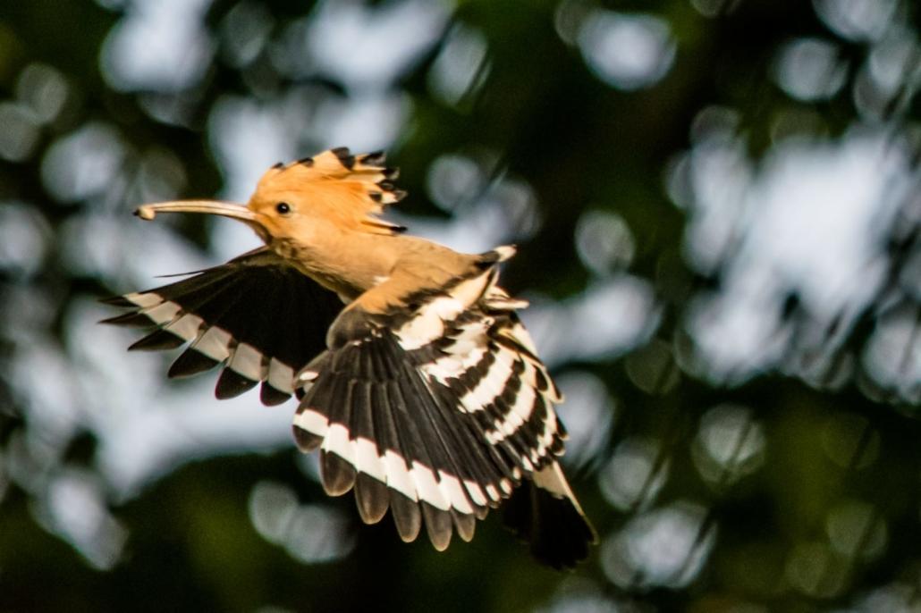 Fotografare gli uccelli: l'upupa