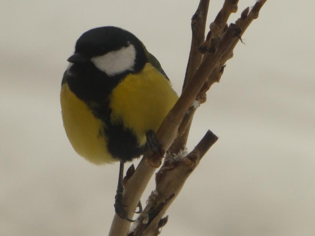 Fotografare uccelli: una cinciallegra