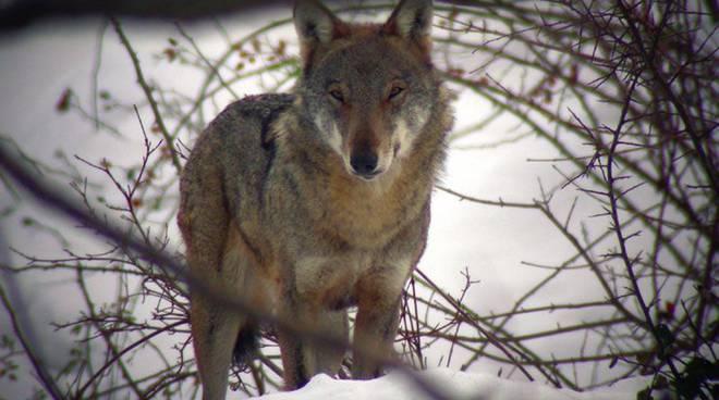 Il lupo nel Parco del Beigua