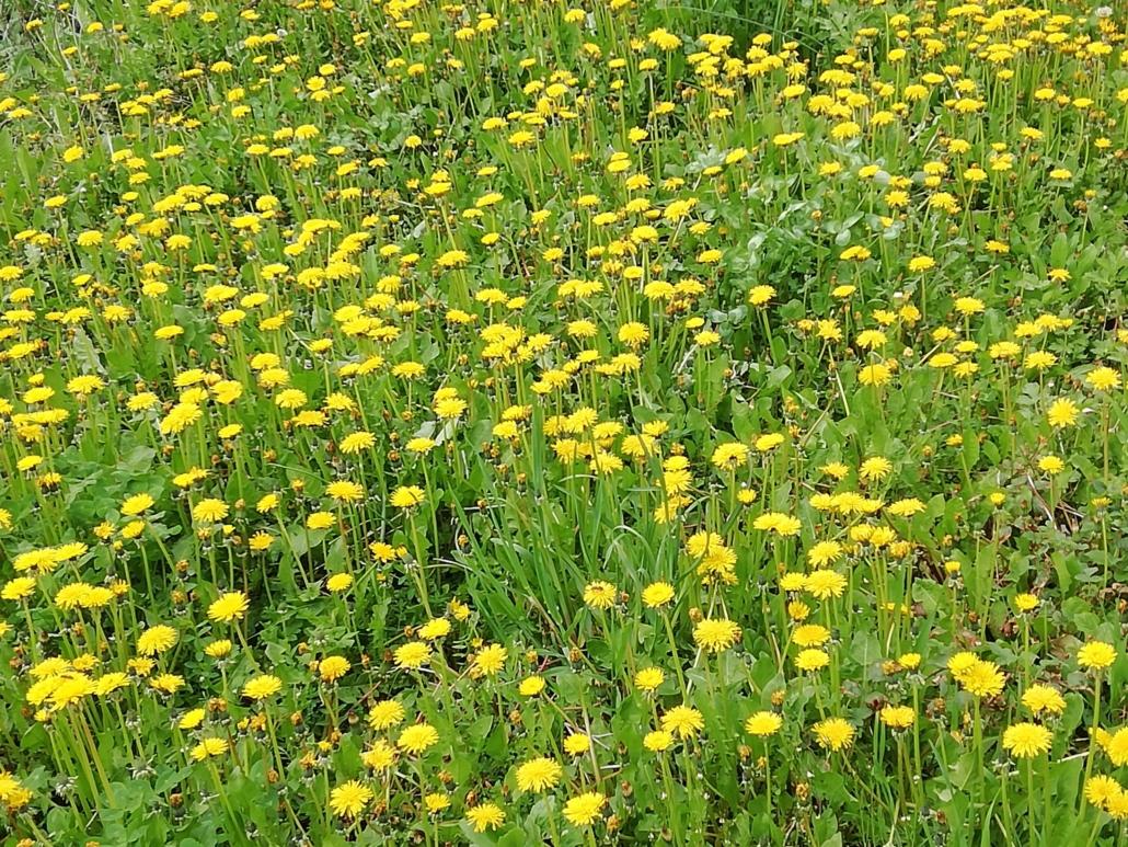 Fotografare i fiori: il tarassaco